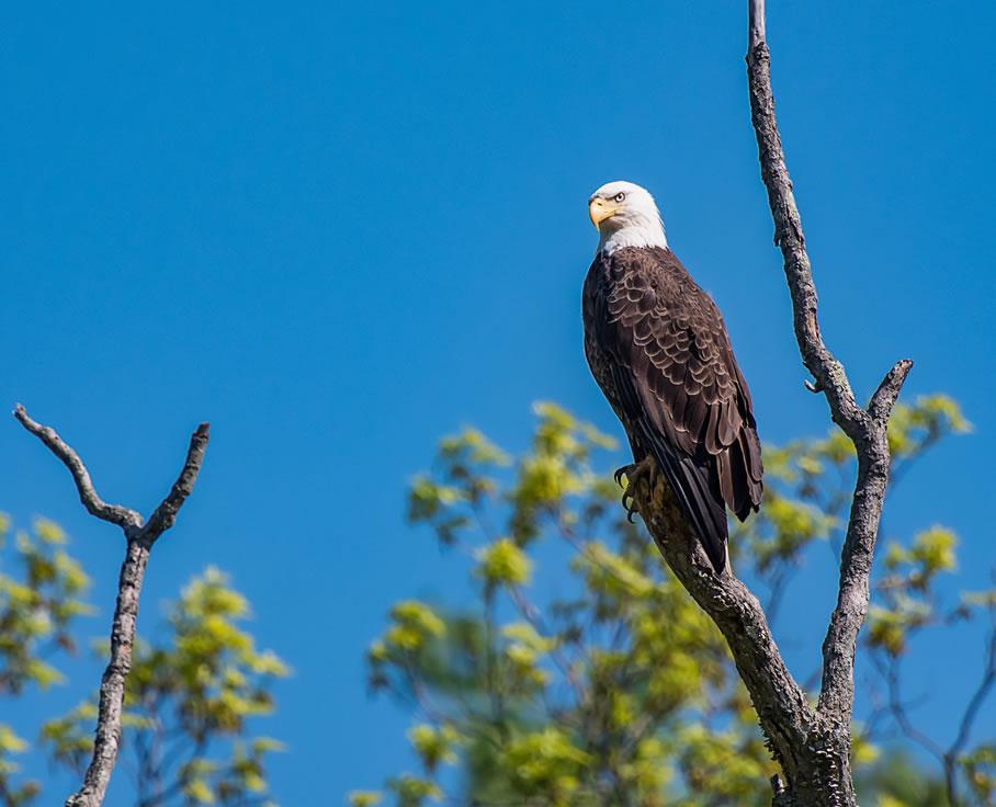 bald-eagle-tree